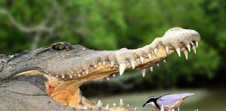 cocodrilo en el rio con la boca abierta y un pajaro