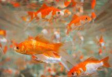 peces naranjas en una pecera
